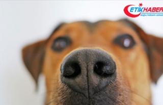 Köpekler kan örneğinde kanseri koklayarak tespit...