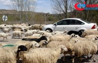 Koyun sürüsü karayoluna çıktı, sürücüler...