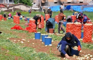 Kuru soğan tarlada kilosu 1,5 liradan satılıyor