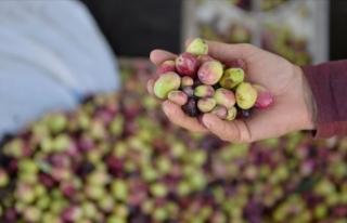 Sofralık zeytinin dörtte biri Almanya'ya ihraç...