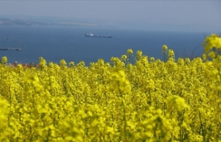 Trakya'da 'sarı bahar'