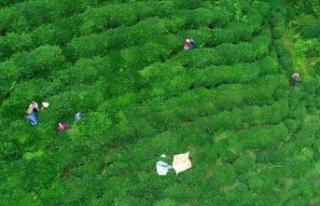 'ÇAYKUR 100 bin tonun üzerinde yaş çay alımı...