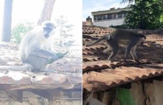 İnegöl'de saldırgan maymun paniği