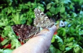 Mersin'e kelebek istilası oldu çiftçilere uyarı...