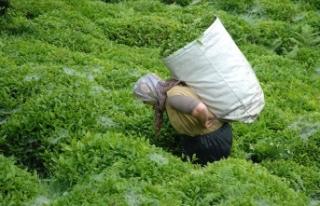 ÇAYKUR'dan son 20 yılın en yüksek yaş çay...