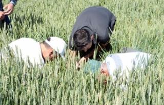 Yozgat'ta hububat üretiminde 'süne böceği'...