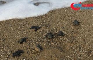 Caretta caretta yavrularını vatandaşlar denize...
