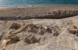 Kayseri'de 7,5 milyon yıllık zürafa fosili...