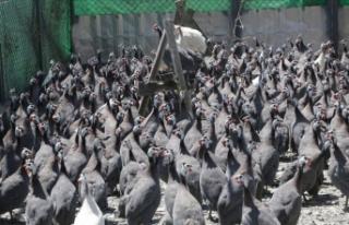 'Kenesavar' tavuklar Yozgat'ta üretiliyor