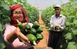Mersin'de salatalık hasadı 'buruk'...