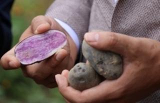 Bolu'da obezite, kanser düşmanı mor patates...