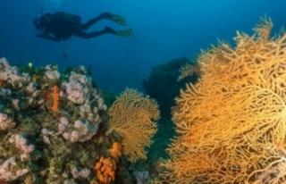 Kızıl mercanlardan sonra sarı mercanlar da büyük...