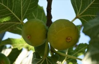 Taze incir Uzak Doğu'ya 'uçacak'