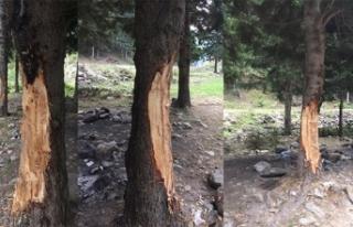 5 liralık çıra için 70 yıllık ağaçlara böyle...