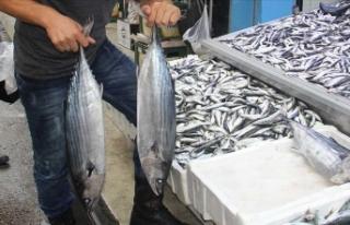 Balıkçılara torik sürprizi