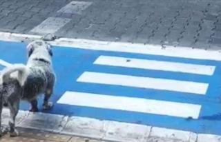 Yayalar kırmızı ışıkta geçti, sokak köpeği...