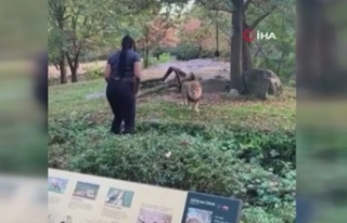 ABD'li kadının aslanla tehlikeli dansı