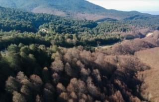 Kayın ormanını tırtıl istilasından 'bacillus'...