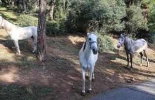 Adalar'da itlaf edilen 105 atın sahipleri hakkında...