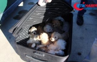 Kapıkule'de yolcu valizinden 14 köpek yavrusu...