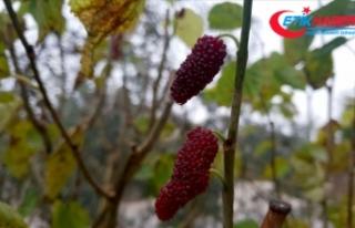Osmaniye'de incir ve dut ağaçları kışın...