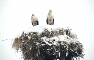 3 yıldır göç etmeyen leylekler köyün maskotu...