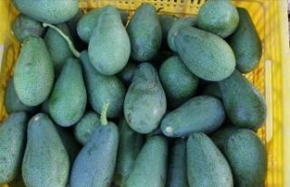 Alanyalı avokado üreticilerinin hedefi 20 ülkeye...