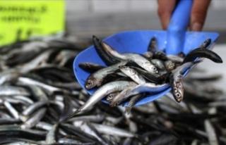 Karadeniz'de balıkçıların yüzünü hamsi...
