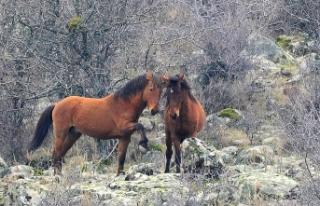 Murat Dağı'ndaki yılkı atlarının sayısı...