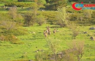 Bolu'da geyik sürüsü doğal yaşamlarında görüntülendi