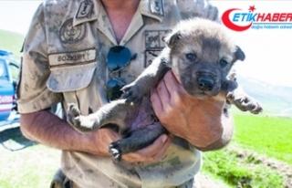 Mehmetçik dağda bulduğu kurt yavrularına sahip...