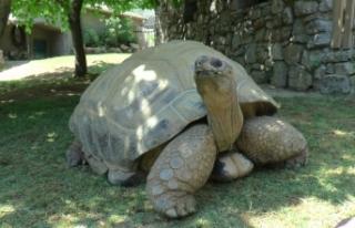 Türkiye'nin en yaşlı kaplumbağası Tuki, 100...