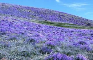 Ağrı'nın mor çiçekleri dağlarda görsel...