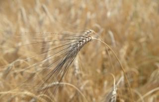 Bakanlık, Türkiye'nin buğday iç tüketiminin...