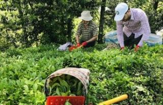 ÇAYKUR yaş çay budama bedellerini üretici hesaplarına...