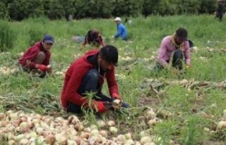 Geçen yıl 6 liraya satılan soğan 50 kuruşa kadar...