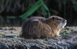 """İstilacı tür """"esrarengiz fareler"""" doğa dostu..."""