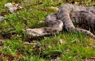 Yılanları öldürmek 'zoonoz hastalıkların...