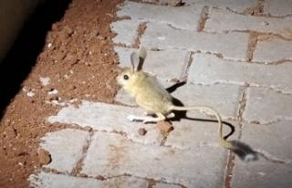 Dünyanın en ilginç hayvanlarından kanguru faresi...