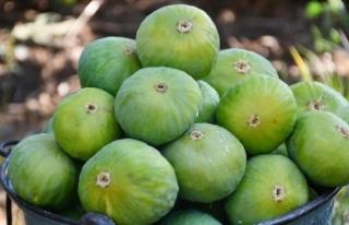 Ege Bölgesi'nin yaş meyve sebze ihracatı pandemi...