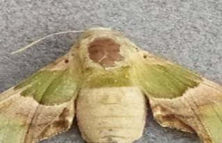 Kelebeğin sırtındaki insan sureti görenleri şaşırtıyor