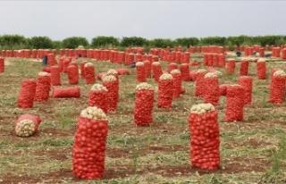 Soğan ve patateste hasat verimli geçti, ihracat...