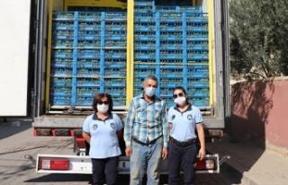23 ton üzümü zabıta yardımıyla kurtardı