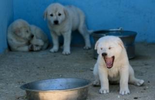'En iyi sürü bekçi köpeği' modern tesiste...