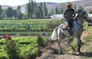 Erzurum'da devlet desteğiyle artan sebze üretimi...