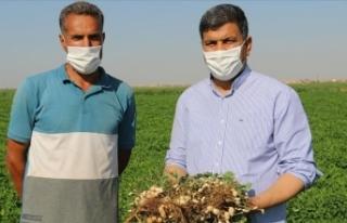 Harran Ovası'nda yer fıstığı üretilmeye...