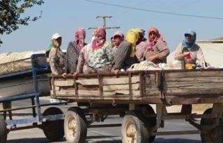 Kazalar ders olmuyor, traktörle tehlikeli yolculuk...
