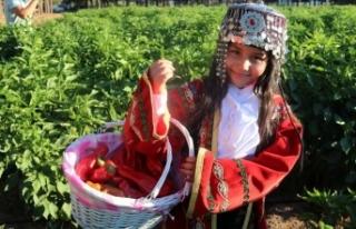 Şanlıurfa'da 'isot' hasadı devam...