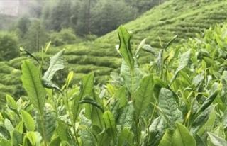 ÇAYKUR üçüncü sürgünde 50 bin ton yaş çay...