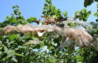 Fındık üreticilerine 'Amerikan beyaz kelebeği'...